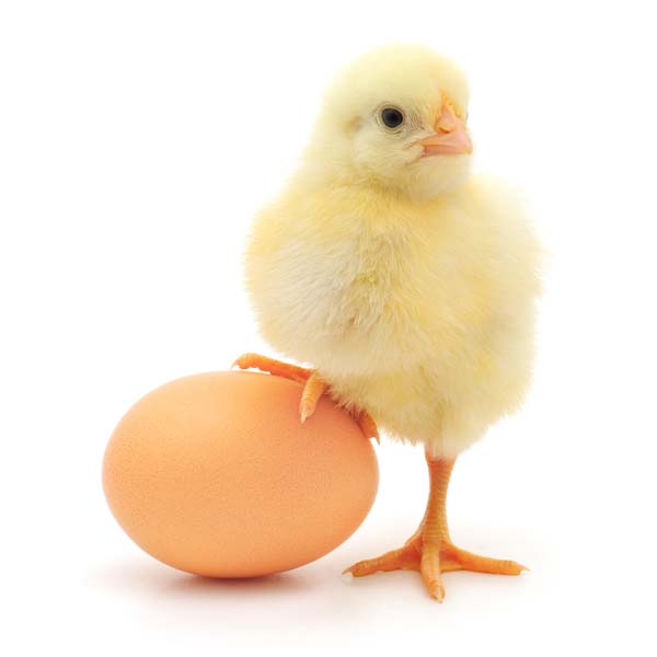Science in School: Which came first, the Chicken or the Egg: Answered?