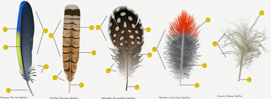 Science+in+School%3A+Fancy+Feathers%3A+the+Basics